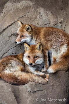 .A duo - NICE POSE OF CURLED UP FOX