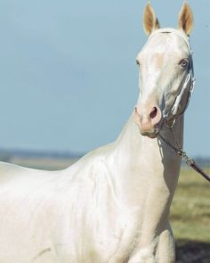 Akhal-Teke horses are regularly regarded as the most beautiful horses in the world. Here's what makes these majestic animals stand out from the rest. Wild Animals Photography, Horse Photography, Wildlife Photography, Portrait Photography, Majestic Horse, Majestic Animals, Albino Horse, Rare Horse Breeds, Horse Dance