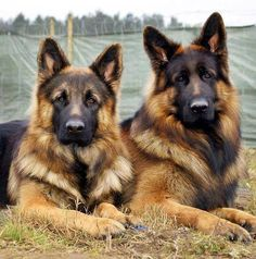 German Shepherds... need I say anymore....