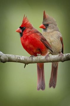 Rode kardinaal - Northern Cardinals (Cardinalis cardinalis) in North America by Bonnie Taylor Barry. Pretty Birds, Beautiful Birds, Animals Beautiful, Cute Animals, Beautiful Couple, Beautiful Pictures, All Birds, Little Birds, Love Birds