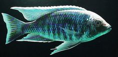 haplochromis mloto.jpg | Flickr - Photo Sharing!