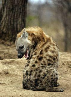 Hyena, DinoAnimals.pl 15
