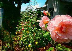 'Strawberry Hill' David Austin rose Heavenly scent