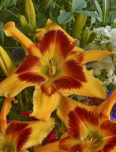 Rainbow Rhythm Tiger Swirl Daylily is a new zone 3 perennial that is sure to stop traffic in your neighborhood! Enjoy these huge triangular shaped flowers in your perennial garden each year.