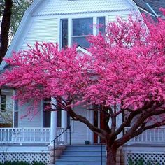 Western Redbud is a showy small tree, vibrant magenta in spring and handsome year round. It is entirely maintenance free. Most of the year it's dense with dark leaves and purple pods. In spring, hot p