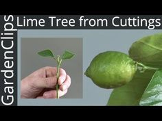 How to Grow Lime Trees from Clippings - Easy way to grow Lime Trees - YouTube