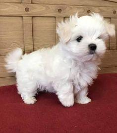 Cute Small Dogs, Cute Baby Dogs, Cute Little Puppies, Cute Puppies, Baby Maltese, Teacup Maltese, Maltese Dogs, Mini Maltese, Maltipoo Puppies For Sale