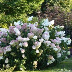 Hortensia+-+Hydrangea+paniculata+Vanille+Fraise