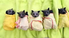 The winged mammals are bottle fed, wrapped up and hung on clotheslines until they are well enough to be   released.  Why do we think bats are ugly?? They're so cuuuuuuute!
