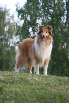 The Collie, one of my favorites!