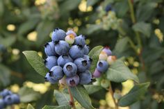 Growing blueberries is easy with these 4 tips.