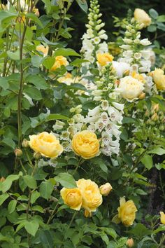 The deep yellow of Rosa 'Graham Thomas' fairly glows when combined with white Foxgloves.