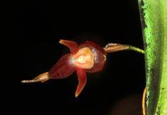 Miniature-orchid / Micro-orquidea: Acronia; by Andrés Posada