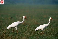https://www.facebook.com/WonderBirds-171150349611448/ Sếu Siberia/Sếu tuyết; Họ Sếu-Gruidae; Liên bang Nga || Siberian crane/Snow crane (Leucogeranus leucogeranus); IUCN Red List of Threatened Species 3.1 : Critically Endangered (CR)(Loài cực kỳ nguy cấp)
