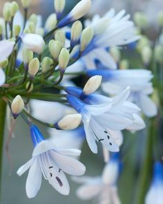 Agapanthus 'Albiflora' XXL clumps - Buy established clumps of white Agapanthus online at Farmer Gracy UK Agapanthus Plant, White Agapanthus, Cut Flowers, White Flowers, African Lily, Decking Area, Garden Plants, Green Garden, Family Garden