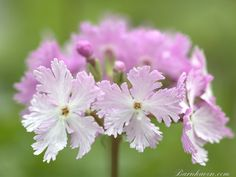 Primula sieboldii DANCING LADIES