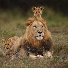 """""""Surely the Dad of the year award has to go to this stunning male Lion in AndBeyond Phinda Private Game Reserve, South Africa. Cute Baby Animals, Animals And Pets, Funny Animals, Animals Photos, Safari Animals, Wild Animals, Beautiful Cats, Animals Beautiful, Beautiful Creatures"""