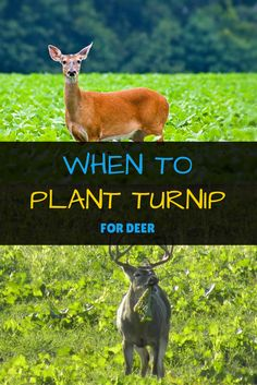 to Plant Turnips for Deer? The Facts You Need to Know. Are you wondering when to plant turnips for deer? Then let this guide on turnip-planting and the best seasons for it help you out for hunting purposes! Quail Hunting, Deer Hunting Tips, Turkey Hunting, Bow Hunting, Hunting Dogs, Archery Hunting, Hunting Stuff, Whitetail Hunting, Food Plots For Deer