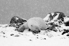 Polar bear on the rocks. Photo by Carol Moffatt.