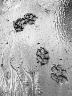 Paw prints on a rainy day