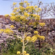 FERULA communis (Férule - Férule commune) : Plante géante et spectaculaire au graphisme impressionnant. Feuillage fin vert, semblable à celui du fenouil. Fleurs en ombelles jaune citron. Plante monocarpique.