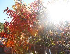 Sunlight shining through the flaming foliage of Sorbus and Prunus. Wholesale Nursery, Prunus, Autumn Garden, Garden Inspiration, Sunlight, Nikko, Peach