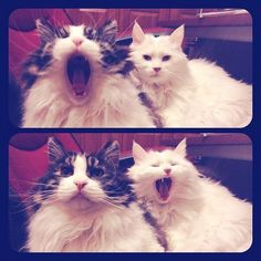 Yawns are contagious!間違いないね!