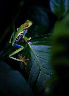 Costa Rica - Frog