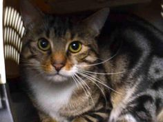 """SHAIGGE - A1064544 - - Brooklyn Please Share: ***TO BE DESTROYED 02/10/16***SAD AND SCARED SHAIGGE–BETRAYED HOUSEPET NEEDS RESCUE ANGEL! Shaigge is a handsome, two year old terrific tabby who was a faithful feline friend to his former family since kittenhood. But that didn't stop them from dumping him at the kill-happy shelter for the BS """"home size"""" excuse. Really, how much room does one ten pound kitty take up–sad sigh! Naturally, poor Shaigge is stres"""
