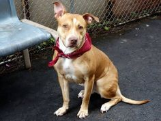 """GONE RIP 7/12/13 Manhattan SANDY A0970500  FEMALE BROWN PIT BULL MIX, 2 yrs Sandy has a beautiful smile and a fabulous SAFER. She is available from the ACC's public adoption site, tonight, and has many fans amongst the ACC volunteers. She's calm, mellow and easy and is patiently waiting to start her happily ever after."""" He life will end abruptly, without your help, so please share far & wide for a foster or adopter."""