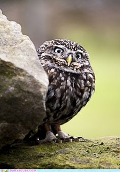 Suspicious owl watches the teenagers in his neighborhood because they're always up to no good.