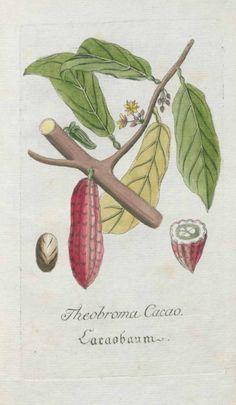 Cocoa Tree - Theobroma cacao - circa 1788