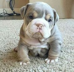 Everything we like about the Dignified Bulldog Pups Cute Bulldog Puppies, Cute Bulldogs, English Bulldog Puppies, Cute Little Puppies, Cute Little Animals, Cute Dogs And Puppies, Cute Funny Animals, Baby Dogs, Doggies