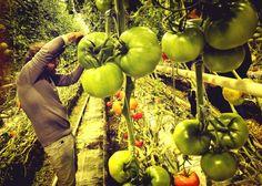 Wiśnia w pomidorach