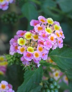 Hardy Lantana takes the Oklahoma heat!   Goes all summer long.   I plant with Mexican Heather.