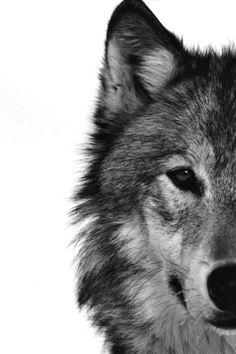 #wolf #beautiful
