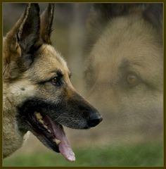 Most noble of dog breeds - the German Shepherd. I miss mine :(