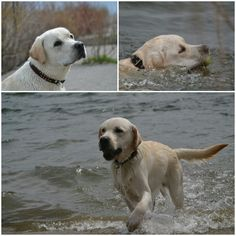 Bruno enjoyed some swimming while having some sleepovers with us!! #yellowlab #waterdog