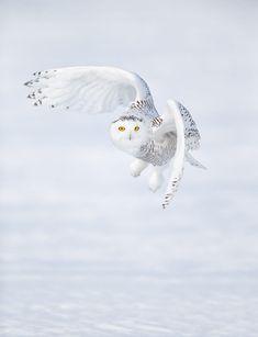 New white bird photography snowy owl Ideas Beautiful Owl, Animals Beautiful, Cute Animals, Owl Art, Bird Art, Munier, Owl Pictures, Bird Wings, Tier Fotos