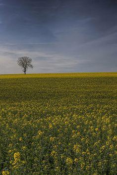 Yellow Power ! Pâturages de Haute-Saône - France - Franche-Comté