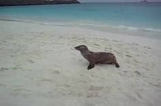 This baby sea lion doesn't have much beach to cross in order to be reunited with his family, but that doesn't mean the journey isn't tiring.