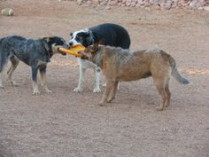 It's a meeting of the minds.  Queensland Heelers and Border Collies are very smart and loyal dogs to have.  Love them.
