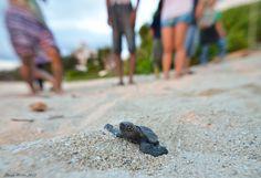 Riviera Maya Puerto Morelos Cancun Marine Turtles