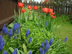 Pauline's Flowers - Tulips, Grape Hyacinths - Spring - April 2013