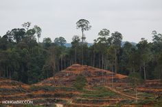 Illegal deforestation for oil palm within the Leuser Ecosystem.