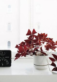 Oxalis Triangularis Bulbs - Purple Shamrocks - 20 Robust Bulbs - Grows Indoors & Out Fake Plants, Hanging Plants, Indoor Plants, Purple Shamrock, Oxalis Triangularis, Easy To Grow Bulbs, Umbrella Tree, Light Purple Flowers, Chinese Money Plant