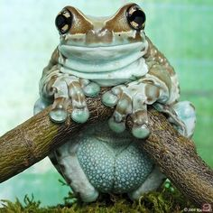 Amazon Milk Frog, name derived from the sticky poison it secretes when threatened.