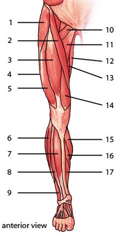 The Muscles Of The Lower Limb, Anterior Aspect #Quiz