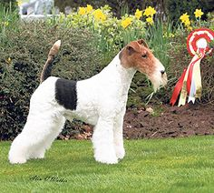 National #Terrier championship show 2014: Oliver keeps it in the family #dogs #NationalTerrier