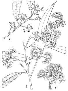 Line-drawing of Eucalyptus camaldulensis. Australian Wildflowers, Australian Native Flowers, Simple Line Drawings, Easy Drawings, Botany Illustration, Fruit Plants, Botanical Drawings, Simple Lines, Tatoo